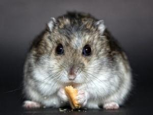 Nowa inspekcja skontroluje Ci chomika? Kolejne poprawki do zmiany prawa o ochronie zwierząt