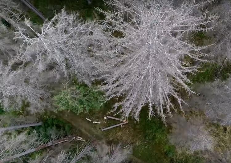 """Dramatyczny głos z Podlasia: """"Mój las został zaatakowany przez kornika. Wszystko idzie z Białowieży"""""""