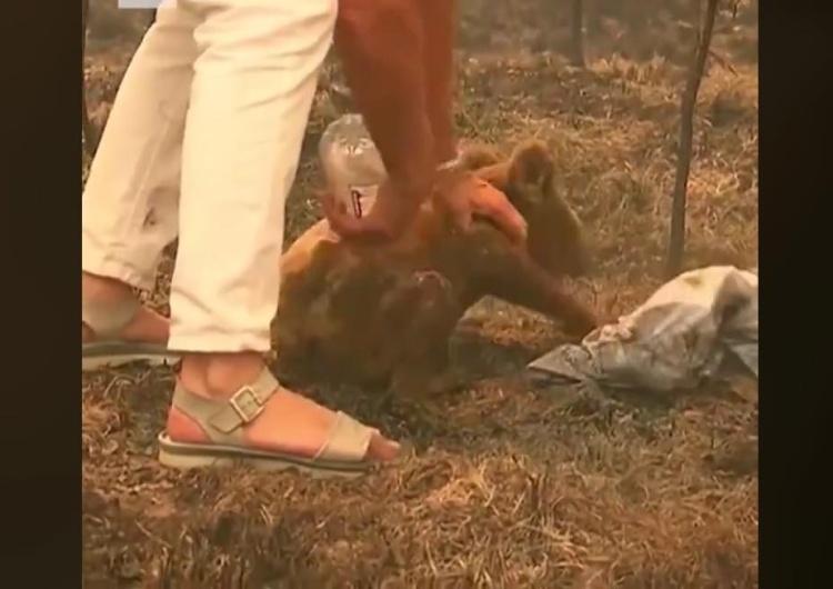 [video] Kobieta wyniosła poparzonego koalę z płonącego lasu