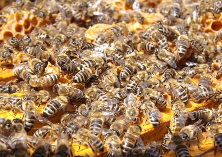 """Zła sytuacja w pszczelarstwie. """"Pszczele rodziny cierpią z głodu"""""""