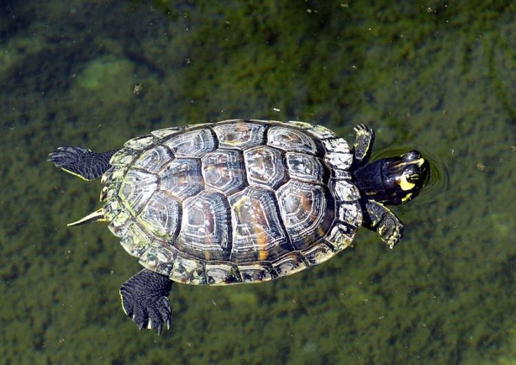 Gennaro Fusco Podlasie pełne niespodzianek. Turysta spotkał w Wigierskim Parku Narodowym... żółwia z USA